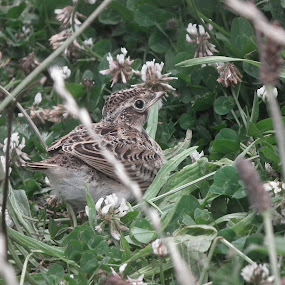 Fledgeling Skylark  by Paul Rayney - Animals Birds ( skylark, green, nest, young, babybird )