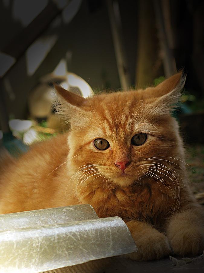belu thinking by Nets Walker - Animals - Cats Kittens ( kitten, cat, pet, cute, tabby,  )