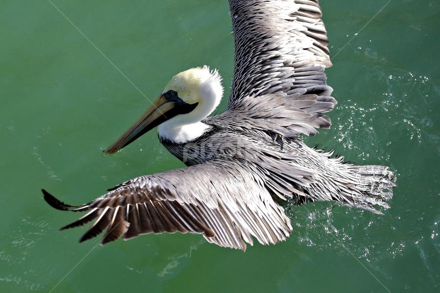 St John's Pass 11 by Terry Saxby - Animals Birds ( bird, terry, florida, zephyrhills, saxby, nancy, usa,  )