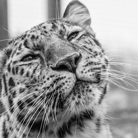 Leopard by Garry Chisholm - Black & White Animals ( leopard, mammal, nature, big cat, garry chisholm )