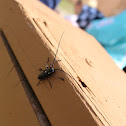 White spotted Sawyer beetle