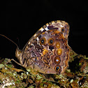 White-spotted Satyr