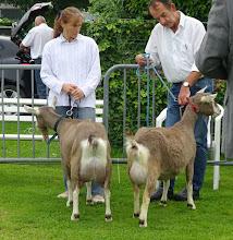 Photo: Klasse 1: 1 jarige toggenburger geiten. 1a. Franka vd Lage Landen; 1b. Marry 120 vd Hoogendijk.
