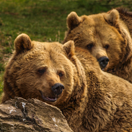Bears by Garry Chisholm - Animals Other Mammals ( nature, mammal, brown bear, garry chisholm )