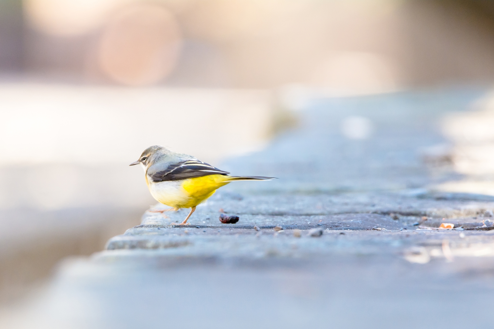 Photo: 今日も歩む I walk again today.  今日も歩む この道を歩む てくてく また明日も その先も  Grey Wagtail. (キセキレイ) #cooljapan #365cooljapanmay  #birdphotography #birds #kawaii  #sigma  Nikon D7100 SIGMA 150-600mm F5-6.3 DG OS HSM Sports [ Day246, January 13th ] (2枚追加:Added 2 photo)