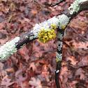 Poplar sunburst lichen