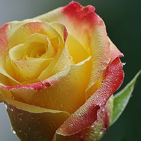 Showing off by Giovanna Pagliai - Flowers Single Flower ( joy., colors, closeup., precious, singular, favourite )