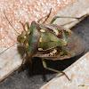 Chroantha ornatula