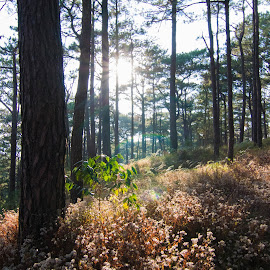 Good Morning by Sherisse Condenuevo - Nature Up Close Trees & Bushes ( forest, gentle sun, soft light, pine tree, nature, sunshine, bushes, sunshine in the forest, pines, pineview, wilderness, sun )