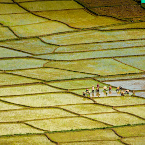 rice farming by Khairi Went - Abstract Patterns ( rice, portraits of women, farmer, land, landscape photography, yellow, landscape, people, farming,  )
