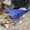 Blue Whistling Thrush ( कल्चौडे )