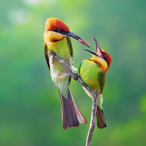 Chestnut-Headed Bee-eater II by Sasi- Smit - Animals Birds