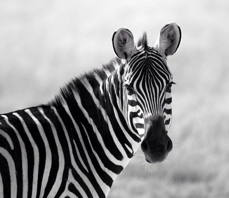 Mara Zebra by David Bough - Animals Other (  )