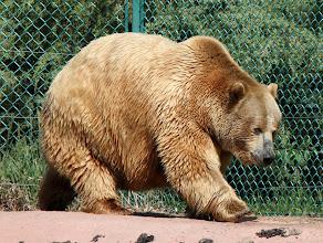 Photo: 07/06/2013 - Bear Country Park, Rapid City, South Dakota - Grizzly Bear