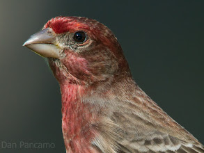 Photo: House Finch