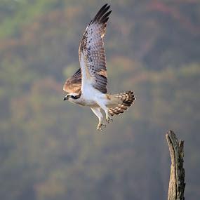 Osprey by Vijayendra Desai - Animals Birds