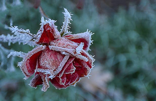 Rosa rossa  di Wilmanna