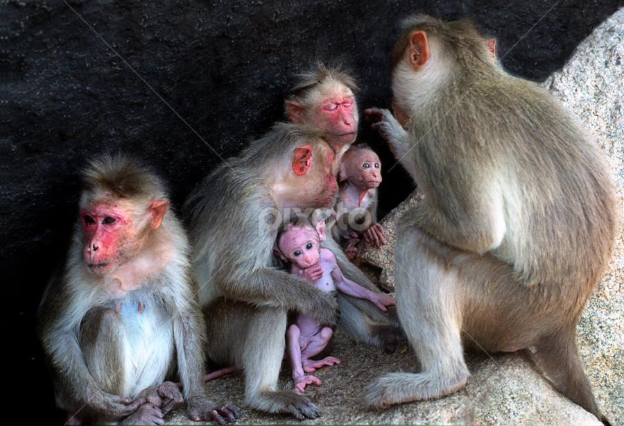 Monkey family by Arvind Akki - Animals Other ( pwcbabyanimals, monkeys,  )