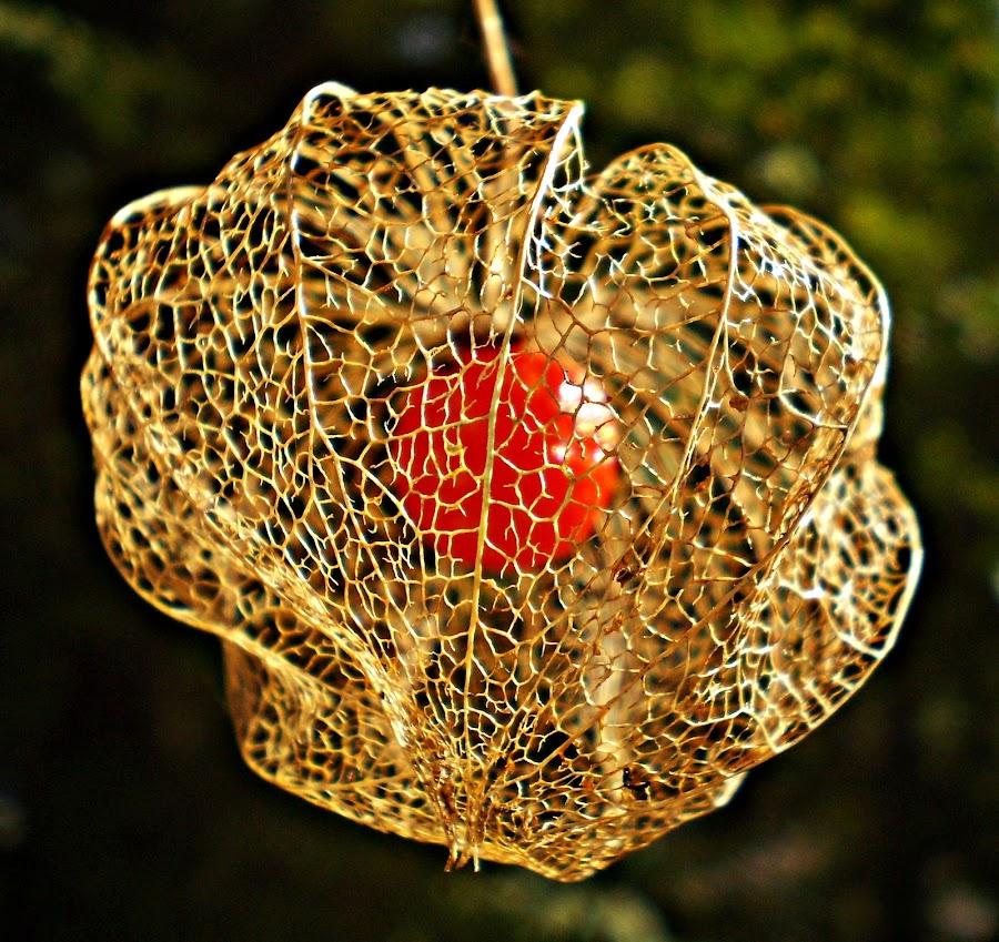 Lace Lantern In Darknesss by Marija Jilek - Nature Up Close Other plants ( lantern, lace, red, nature, plpants, physalis alkekengi, dark green, darkness, black, golden )