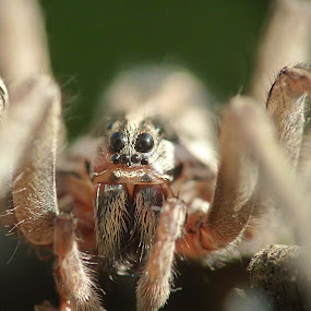 Ambush by Dragan Gavrillo Velickovic - Animals Insects & Spiders ( macro, spider legs, spider, insects, eyes,  )