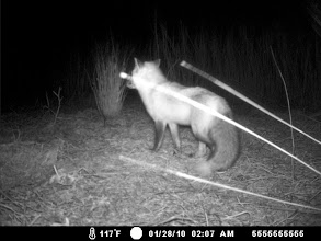 Photo: Red Fox  - Elizabeth islands