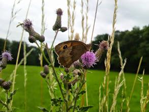 Photo: Schmetterling und - links oben - Schwebfliege auf Distelblüten auf der Halle (Ruhrhöhenweg Süd).