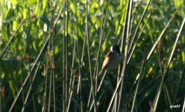 Photo: тростниковая овсянка