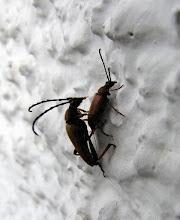 Photo: Naja, Sex zwischen 2 Käfern , das Foto wird wohl erlaubt sein , auch sie müssen sich fortpflanzen.....
