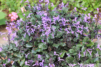 Photo: 拍攝地點: 梅峰-溫帶花卉區 拍攝植物: 紫鳳凰 拍攝日期: 2014_07_27_FY