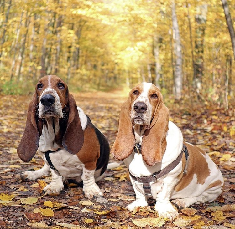 Basset hounds come in a variety of colors patterns
