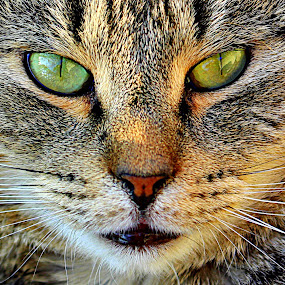 Wilbur by Kevin Hill - Animals - Cats Portraits ( cat, tabby cat, whiskers, tabby, eyes,  )