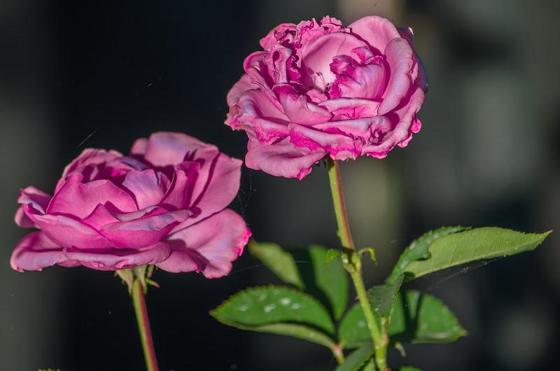 Rose rosa di ivano_saporito