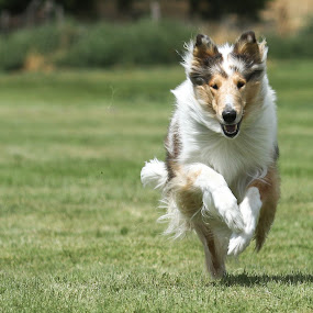 I'm coming at you by Karin Bennett - Animals - Dogs Running ( dogs, running., collies )