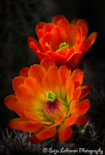 Photo: A beautiful Saturday to all.........:)  saija-lehtonen.artistwebsites.com   #cactusflower   #cactus   #flowerphotography   #flowerscolor   #floralphotography   #floraltoday   #southwestern   #southwest   #Arizona   #nature   #botanicalphotography