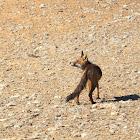 Zorro rojo (Red fox)