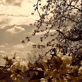 Tree of Cherry by Nat Bolfan-Stosic - Flowers Tree Blossoms ( cherry, tree, flowers, spring, blossom )