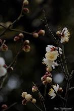Photo: ただ、その後は年初よりの寒波の影響を受け、(冬至梅、2014,01,18)