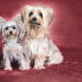 Yorkies by Vanessa Kruger - Animals - Dogs Portraits ( yorkshire, terrier )