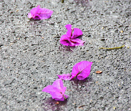 Photo: Year 2  Day 16  -  Bougainvillia on the Wet Road