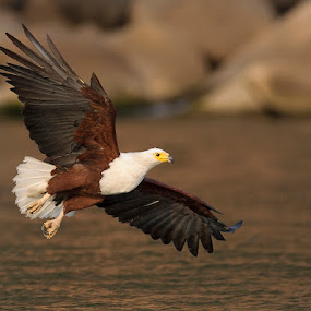 Hunting African Fish Eagle by Robert van Brug - Animals Birds ( haliaeetus vocifer, lake malawi, 2011, senga bay, african fish eagle, malawi, birds, afrikaanse zeearend,  )