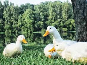 Photo: White ducks by a lake at Carriage Hill Metropark in Dayton, Ohio.