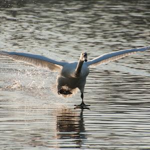 Swan landing 2.jpg