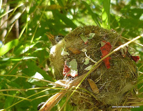 Photo: Nestling Mexican Woodnymph (W. Mexico endemic hummingbird), Vallarta Botanical Gardens
