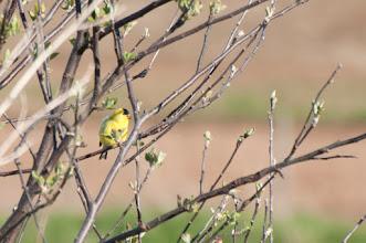 Photo: American Goldfinch (Goldzeisig); Wolfville, NS