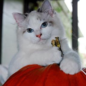 Touch my pumpkin - I dare you! by Barb Moore - Public Holidays Halloween ( munchkin, pumpkin, pwcpumpkins, kitty, halloween )