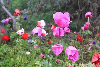 Photo: 拍攝地點: 梅峰-溫帶花卉區 拍攝植物: 白頭翁 拍攝日期: 2015_02_09_FY
