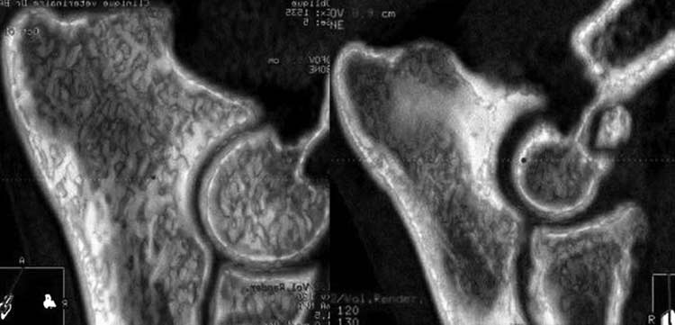 CT scan of two 2 dogs affected by FMCP