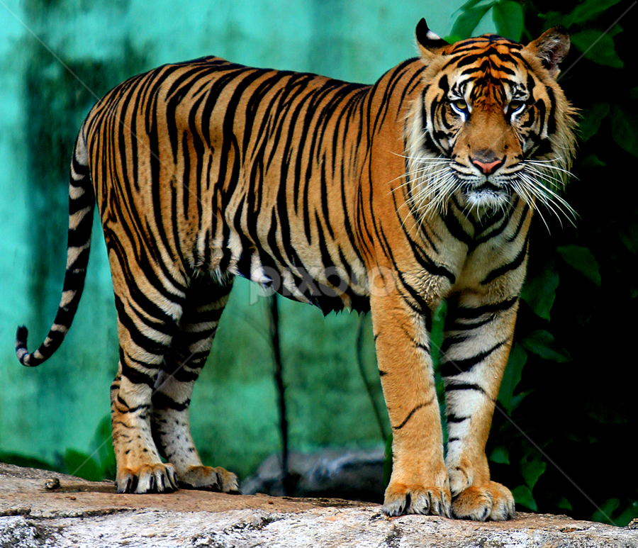 That's You by Yohanes Arief Dewanto - Animals Lions, Tigers & Big Cats ( big cat, wild, tiger, wildlife, animal,  )