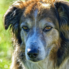 English Shepherd - 2455 by Twin Wranglers Baker - Animals - Dogs Portraits (  )