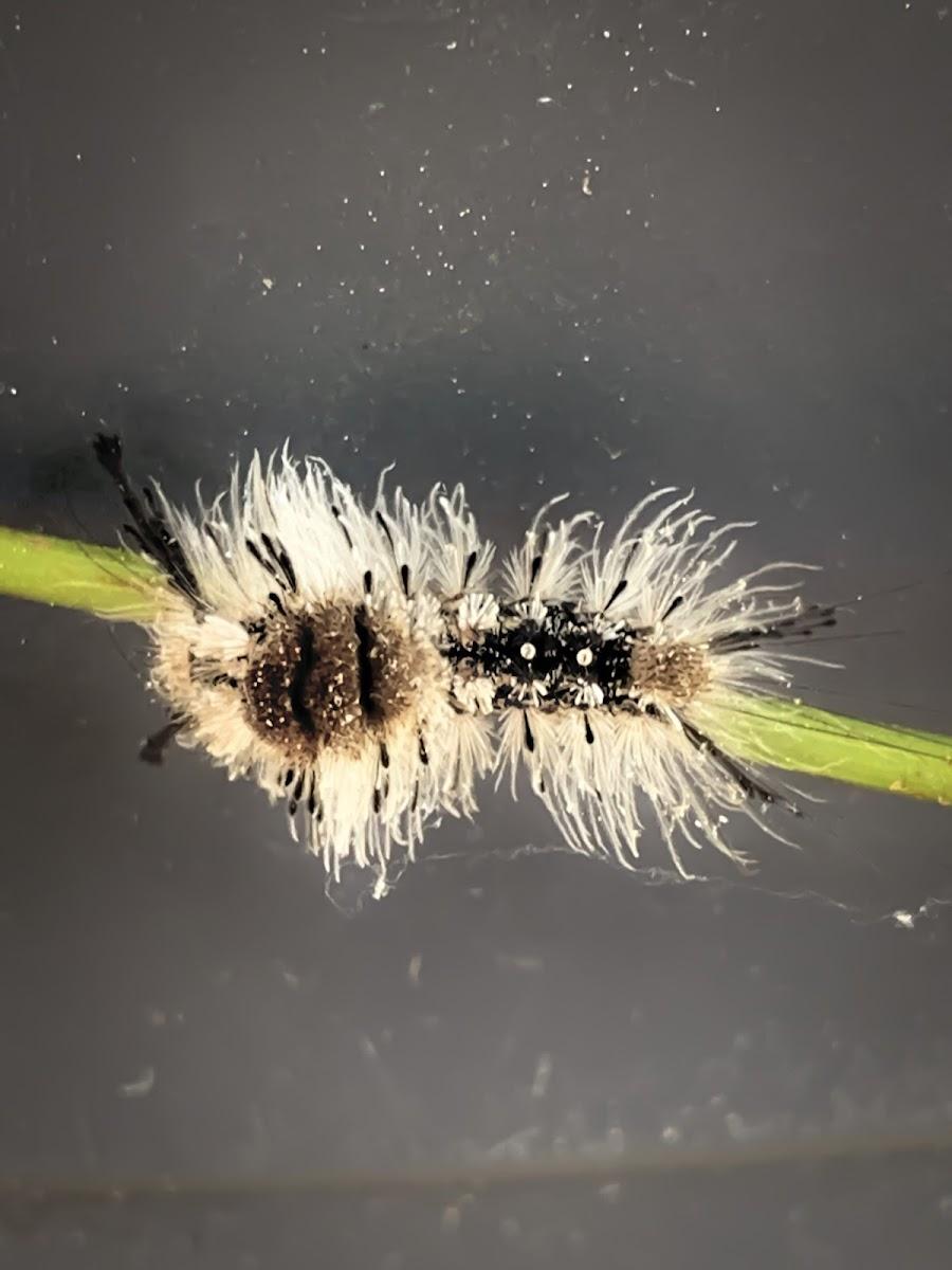 Variable Tussock Moth Caterpillar